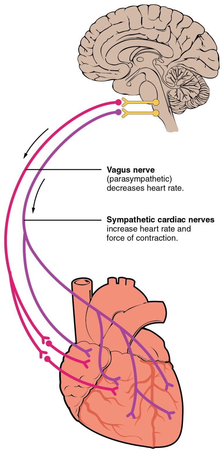 nervo vago schema