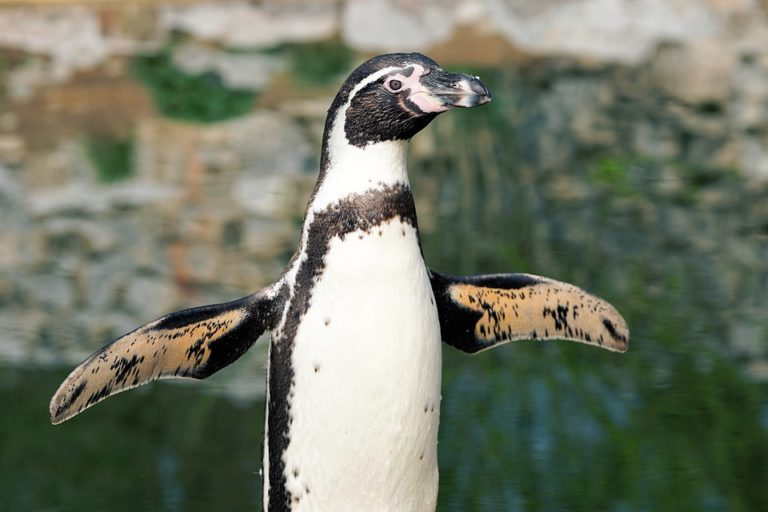 come migliorare la postura da seduti e l'esercizio del pinguino
